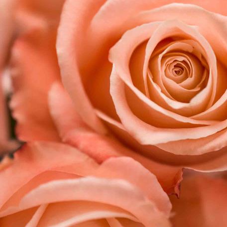 Rosa prima 2