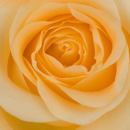 Rosa prima 3